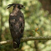 Águila crestilarga (Long-crested Eagle)