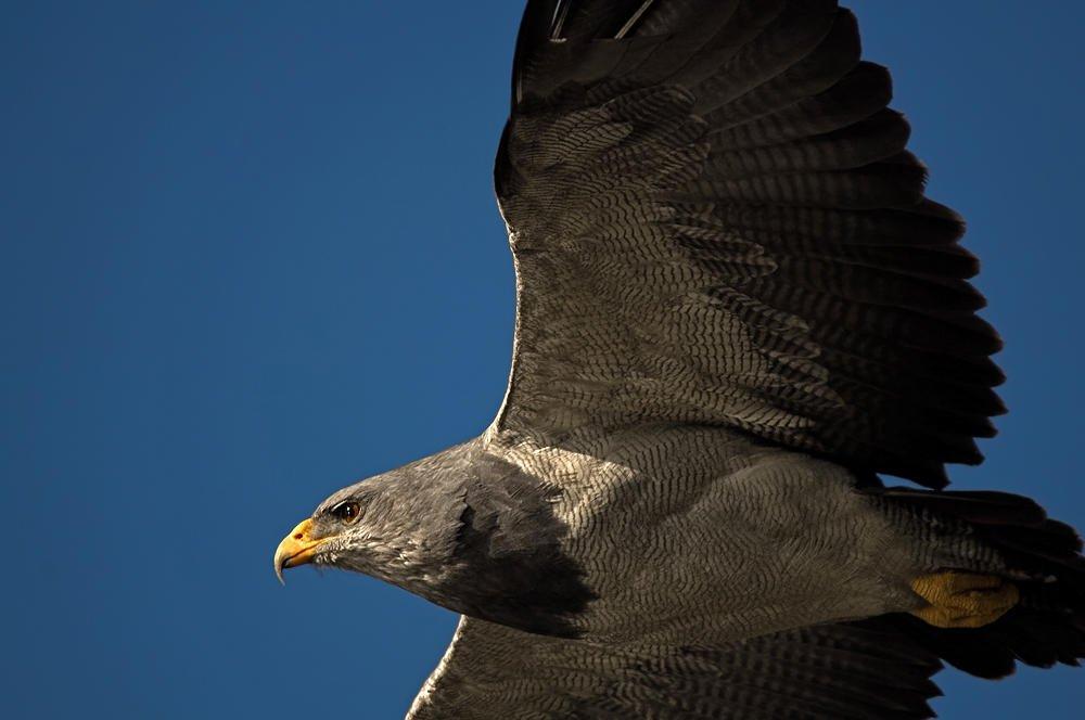 Águila mora (Black-chested Buzzard-eagle)