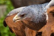 Aguila Mora (geranoaetus melanoleucus)