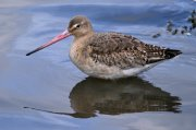 Aguja colinegra (Black-tailed Godwit)