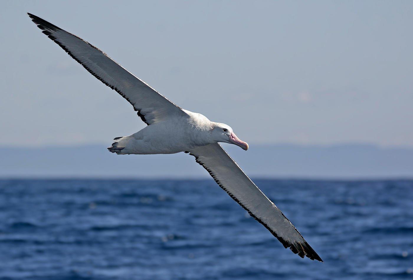 Albatros de las Antípodas (Antipodean Albatross) (Salvador Solé Soriano)