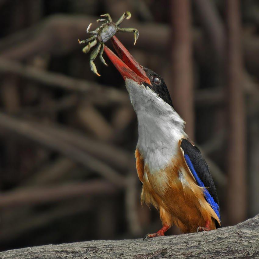 Alción capirotado (Black-capped Kingfisher) (Salvador Solé Soriano)
