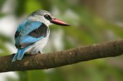 Alción senegalés (Woodland Kingfisher)