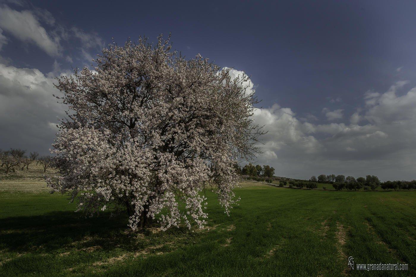 Almendro en flor ( La Malahá) (Lucas Gutierrez Jiménez)
