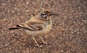 Alondra ibis (Greater Hoopoe-lark)