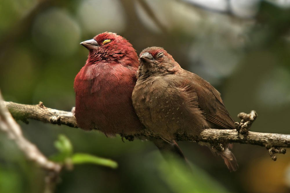 Amaranta senegalesa (Red-billed Firefinch) (Salvador Solé Soriano)