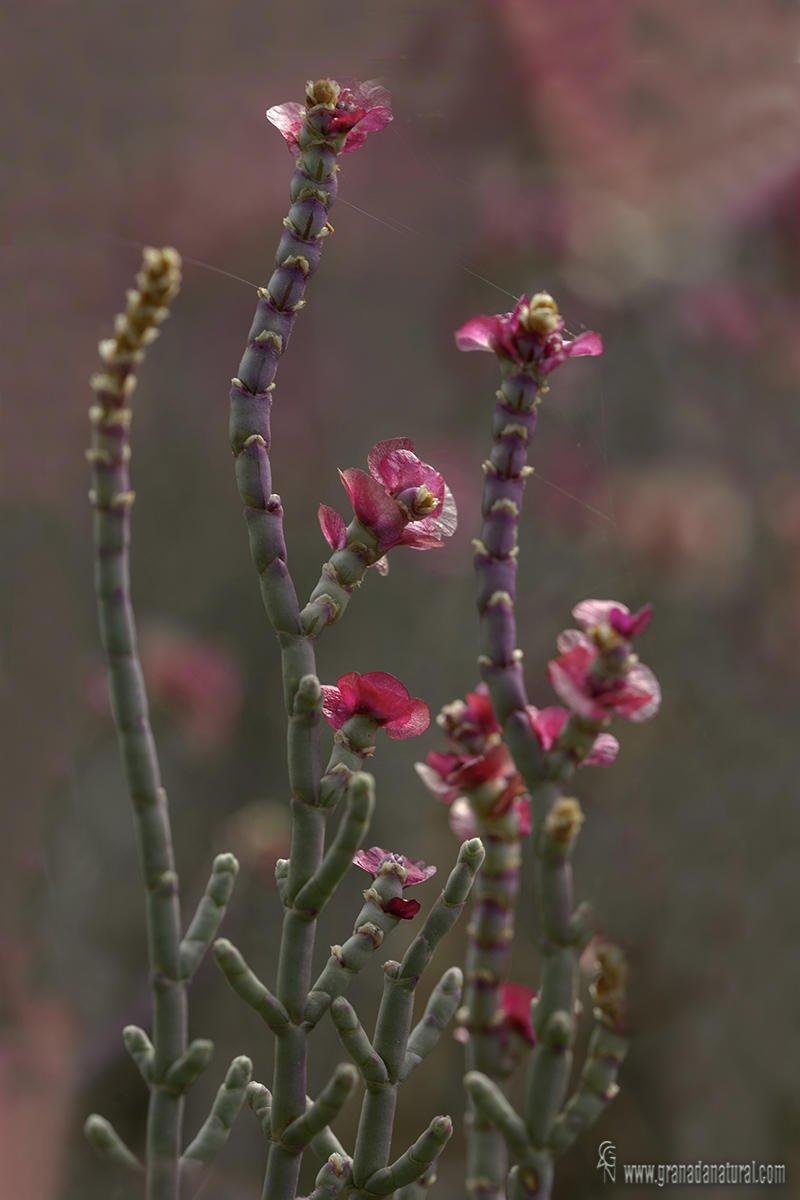 Anabasis articulata  (Forssk.) Moq. (Lucas Gutierrez Jiménez)