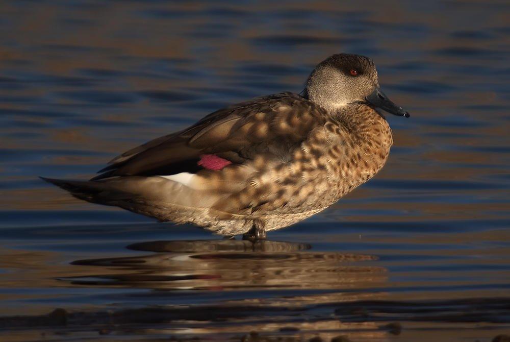 Ánade juarjual (Crested Duck) (Salvador Solé Soriano)