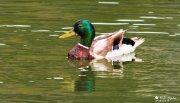 Ánade o pato común (Anas platyrhynchos)
