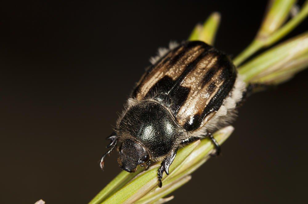 Anisoplia villosa (Escarabajo velludo) (Jaume Bobet)