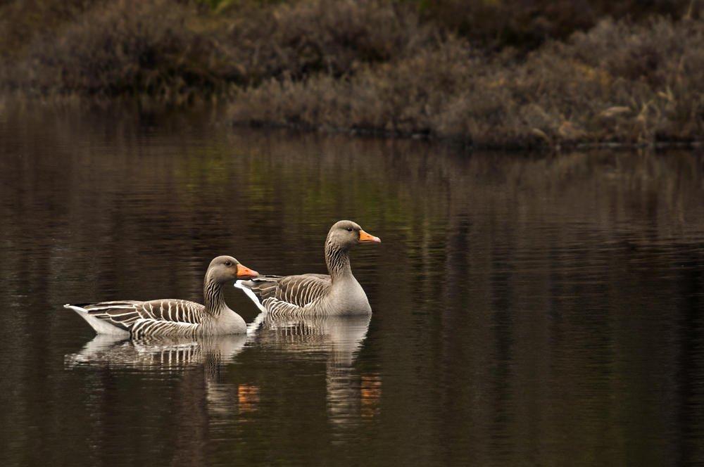 Ánsar común (Greylag Goose)