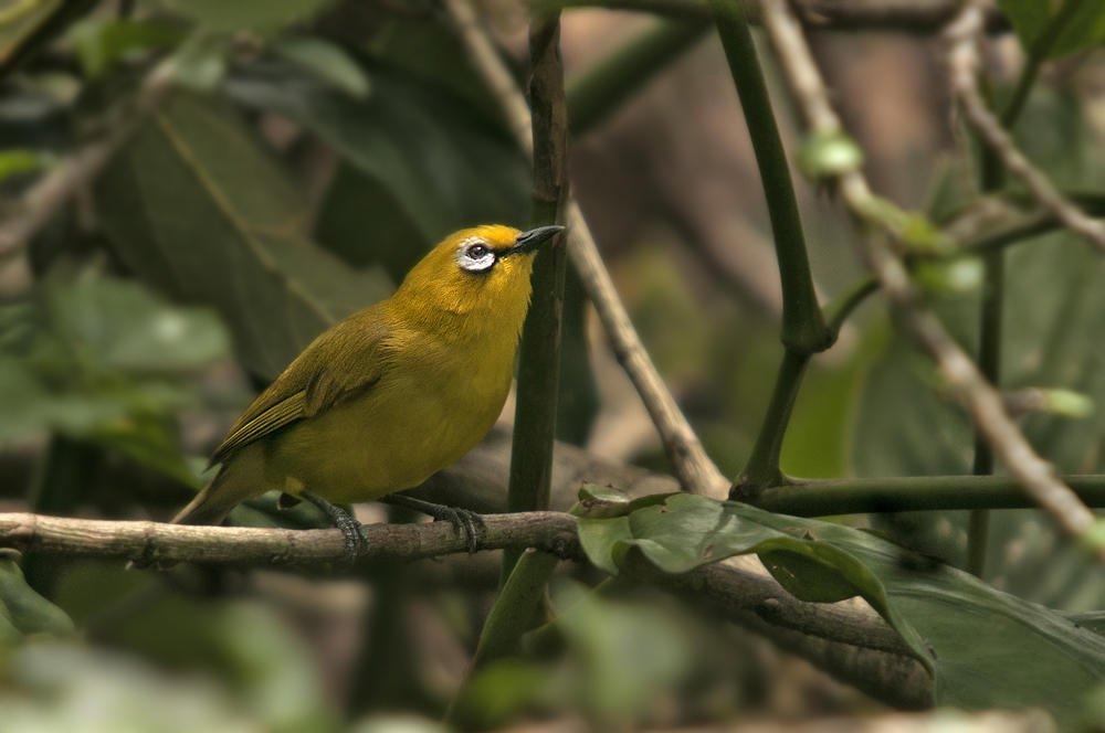 Anteojitos senegalés (African Yellow White-eye) (Salvador Solé Soriano)