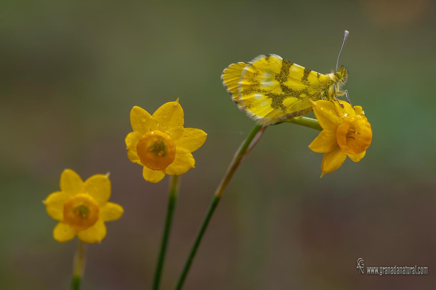 Anthocharis euphenoides sobre Narcissus assoanus subsp. rivasmartinezii (Lucas Gutierrez Jiménez)
