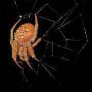 Araña con nocturnidad
