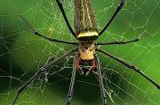 Araña gigante (género Nephila)
