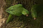 Aratinga ojiblanca (White-eyed Parakeet)