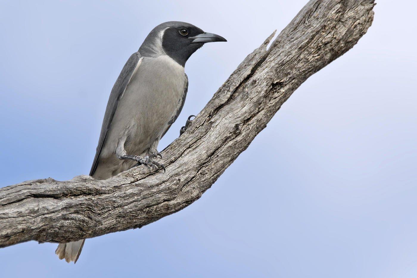 Artamo enmascarado (Masked Woodswallow)  (Salvador Solé Soriano)