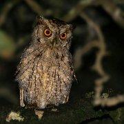 Autillo de manglar (Pacific Screech-Owl)