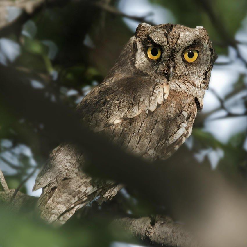 Autillo europeo (Eurasian Scops-owl) (Salvador Solé Soriano)