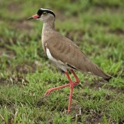 Avefría coronada (Crowned Lapwing)