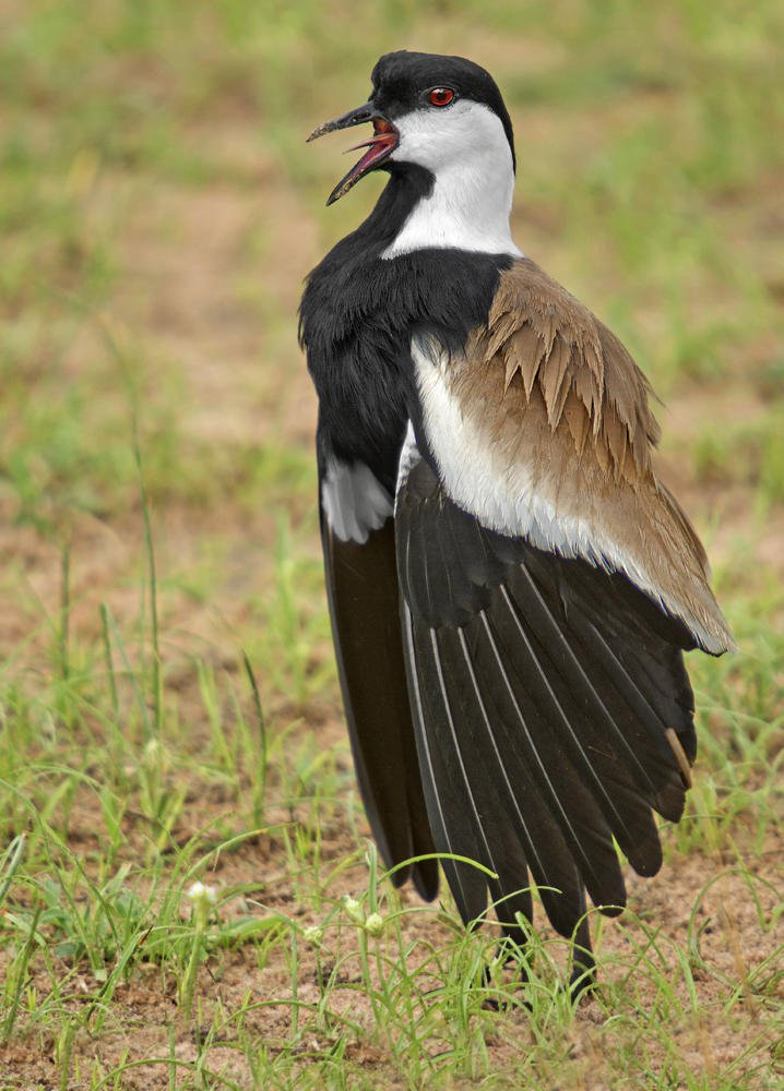 Avefría espinosa (Spur-winged Lapwing) (Salvador Solé Soriano)
