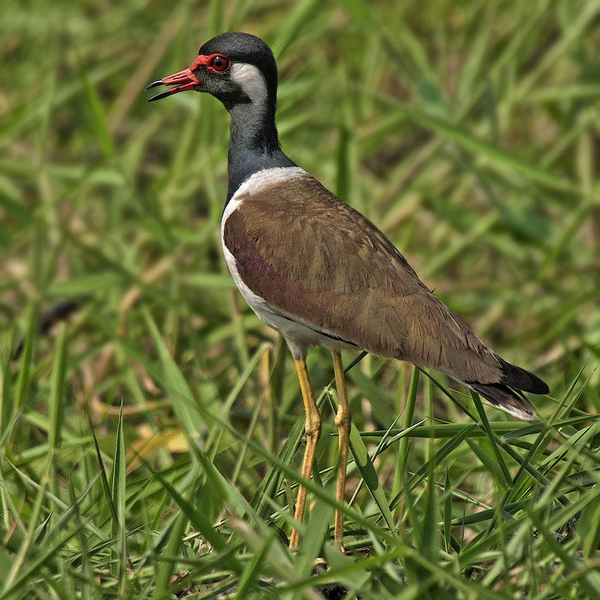 Avefría india (Red-wattled Lapwing) (Salvador Solé Soriano)