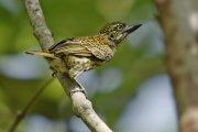Barbudito escolopáceo (Speckled Tinkerbird)