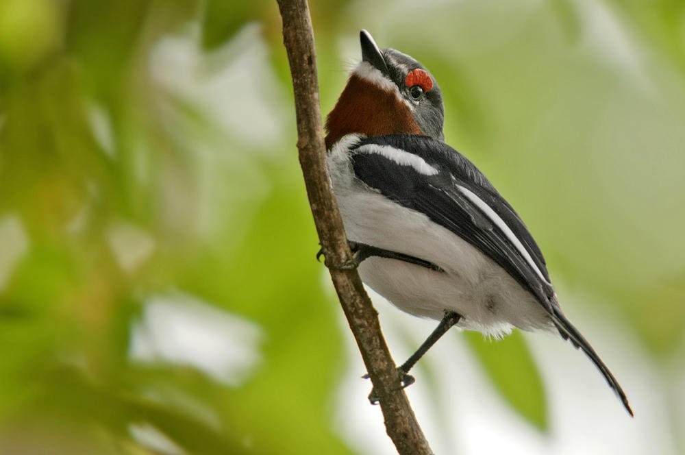 Batis carunculado gorjipardo (Brown-throated Wattle-eye)