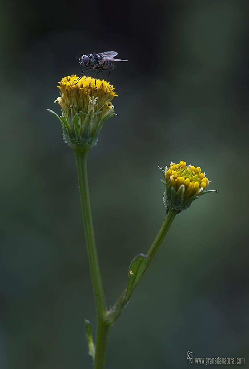 Bidens pilosa y y Limnophora obsignata (Lucas Gutierrez Jiménez)