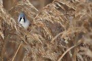 Bigotudo (Bearded Parrotbill) II
