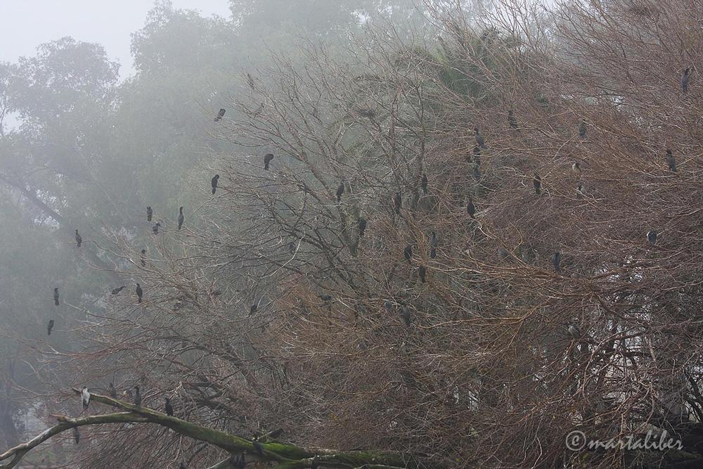 Biguás en la neblina (marta Liber)