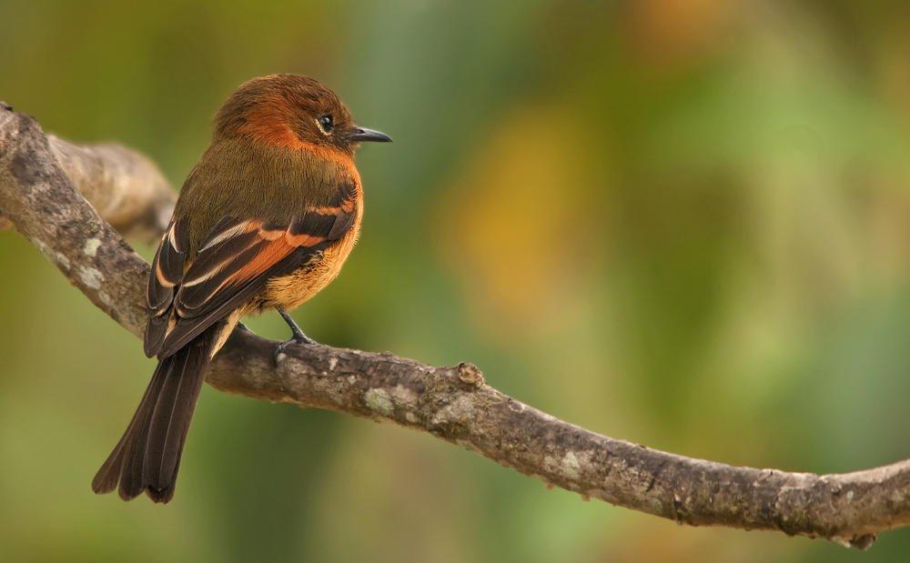 Birro chico (Cinnamon Flycatcher) (Salvador Solé Soriano)