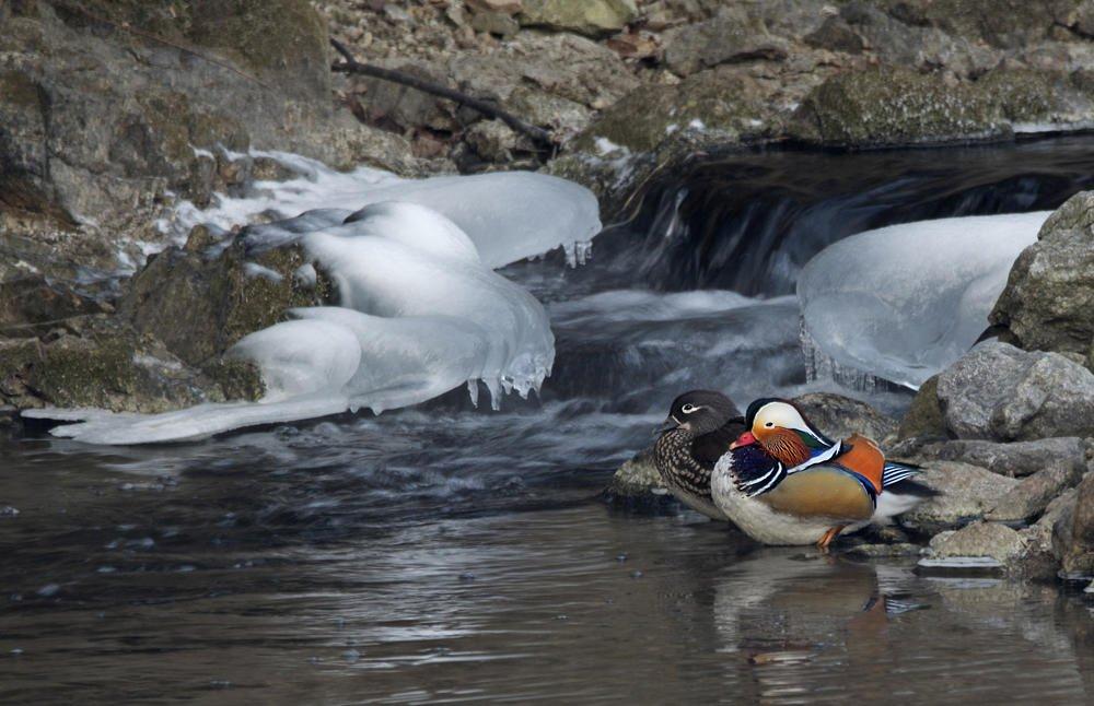 Bodegón fluvial con Pato mandarín (Salvador Solé Soriano)