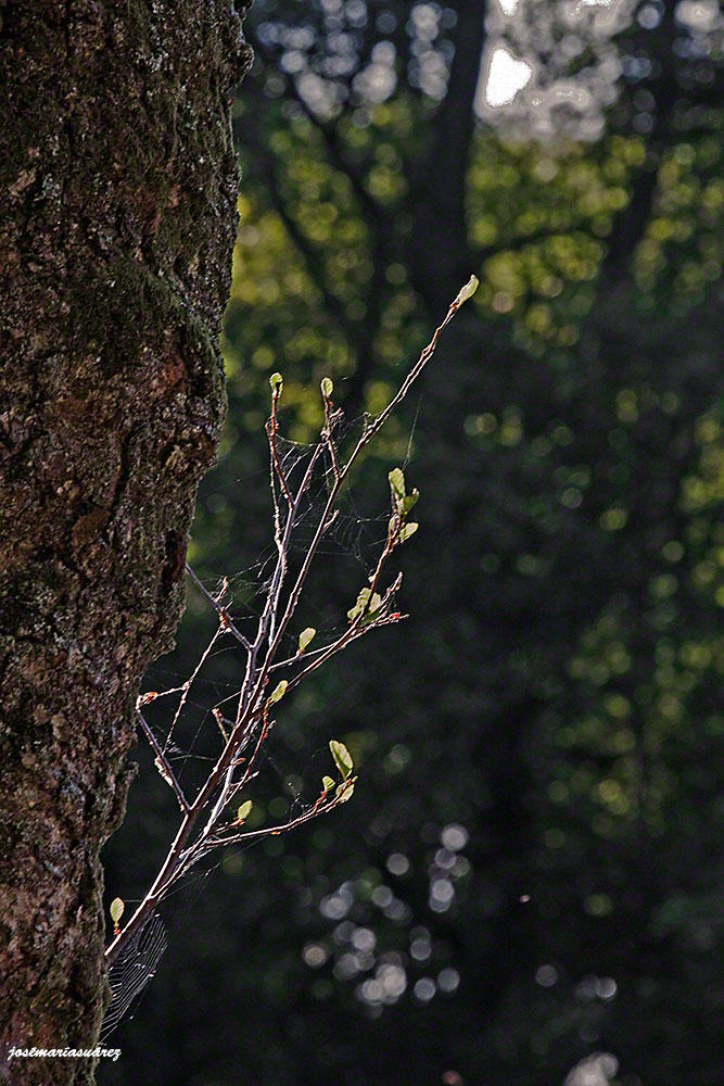 Brotes verdes con telas de araña. (José-María Suárez Domingo)