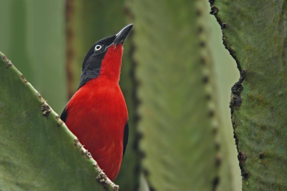 Bubú cabecinegro (Black-headed Gonolek) (Salvador Solé Soriano)