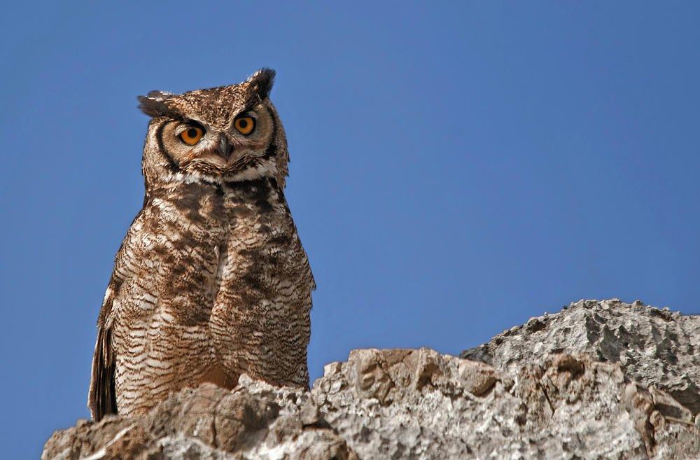 Búho americano (Great Horned Owl) (Salvador Solé Soriano)