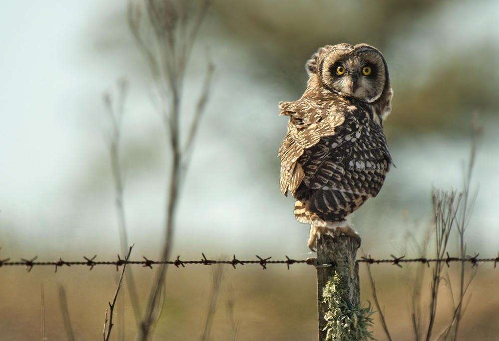 Búho campestre (Short-eared Owl) (Salvador Solé Soriano)