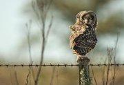 Búho campestre (Short-eared Owl)