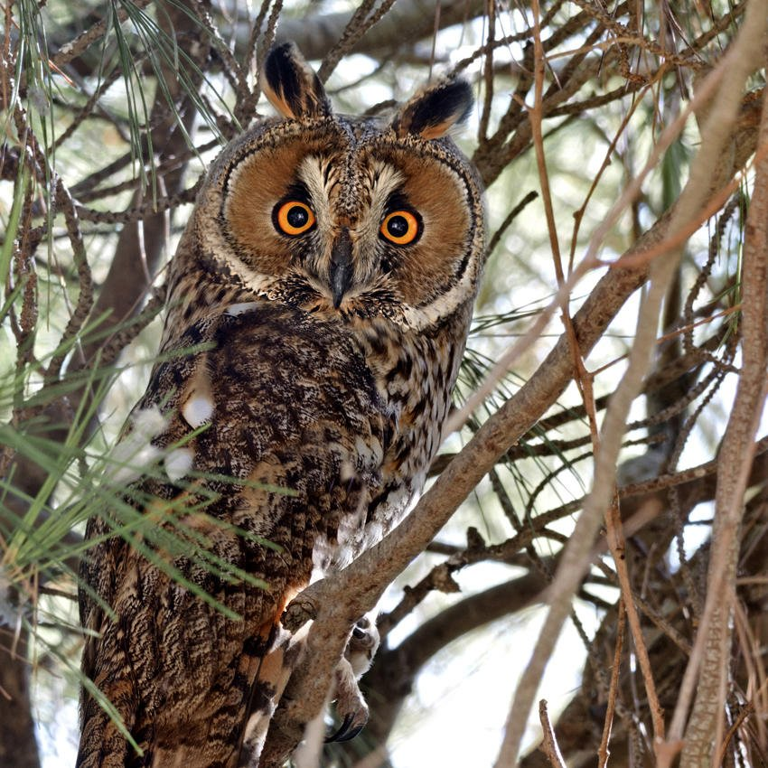 Búho chico (Northern Long-eared Owl) (Salvador Solé Soriano)