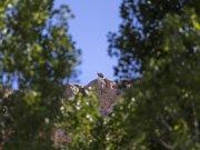 buitre entre los árboles