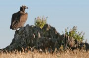 Buitre negro (Eurasian Black Vulture)