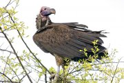 Buitre orejudo (Lappet-faced Vulture)