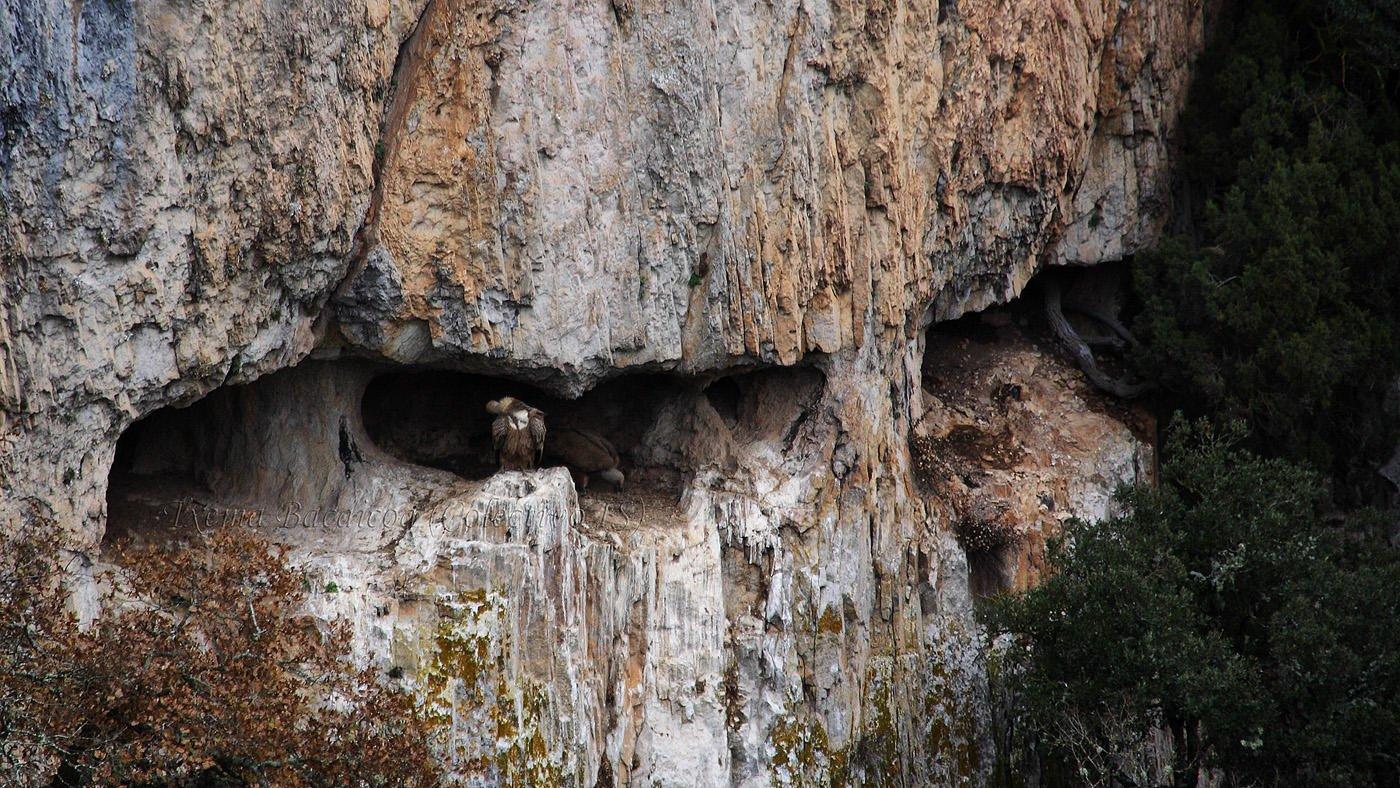 Buitreras en la Foz de Arbayun (Txema Bacaicoa (Colectivo IS))