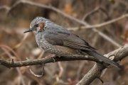 Bulbul orejipardo (Brown-eared Bulbul)
