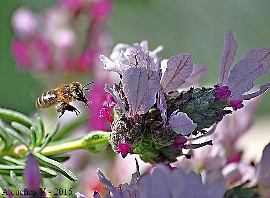 buscando el nectar (Antonio Cuenca.   vaya)