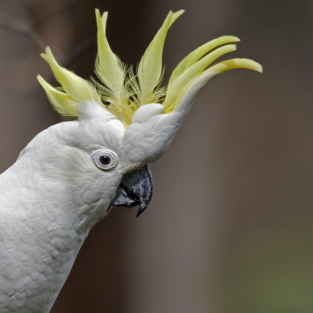 Cacatúa galerita (Sulphur-crested Cockatoo) (Salvador Solé Soriano)