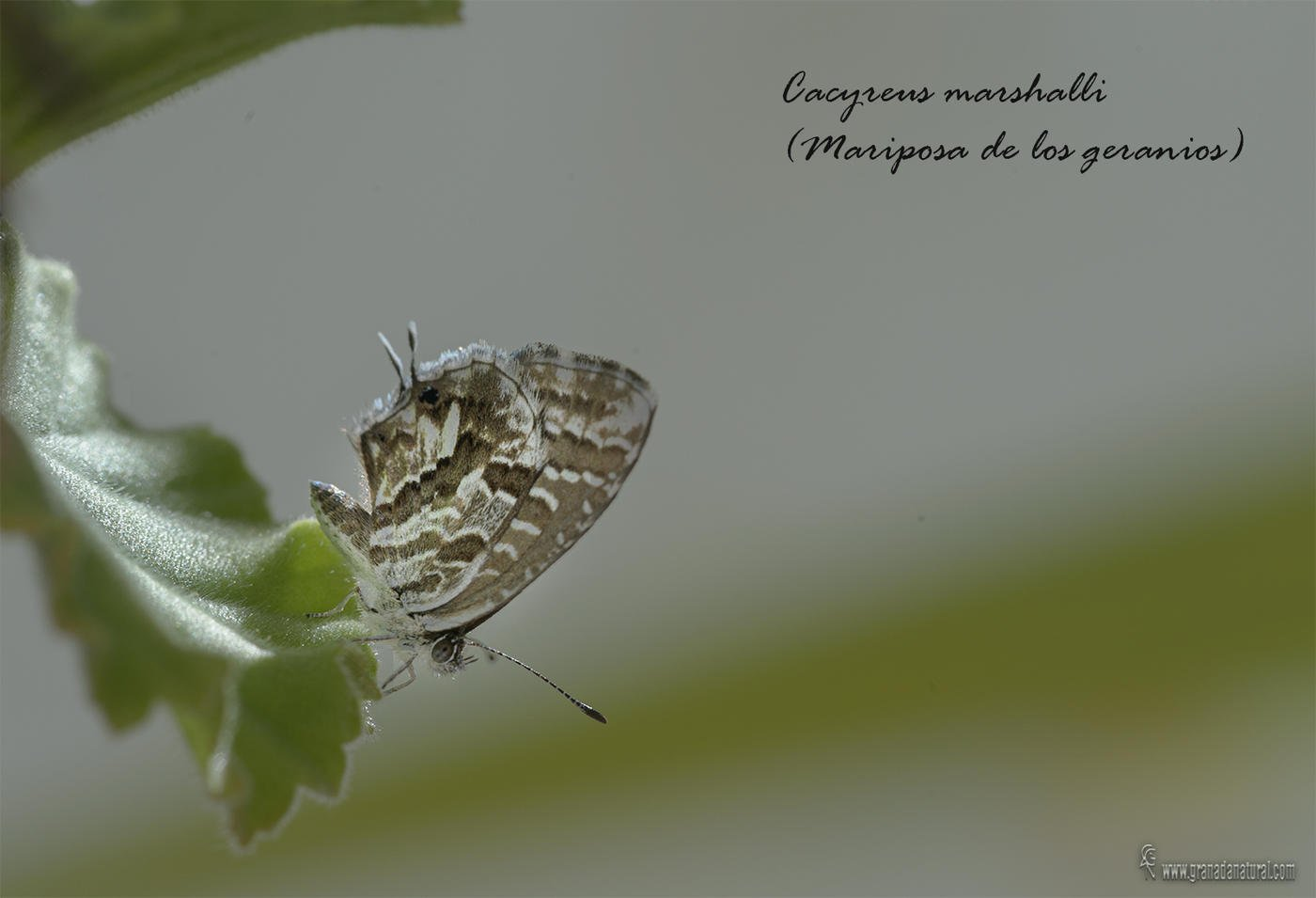 Cacyreus marshalli ( mariposa de los Geranios) (Lucas Gutierrez Jiménez)