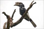 Cálao carigrís (Grey-cheeked Hornbill)