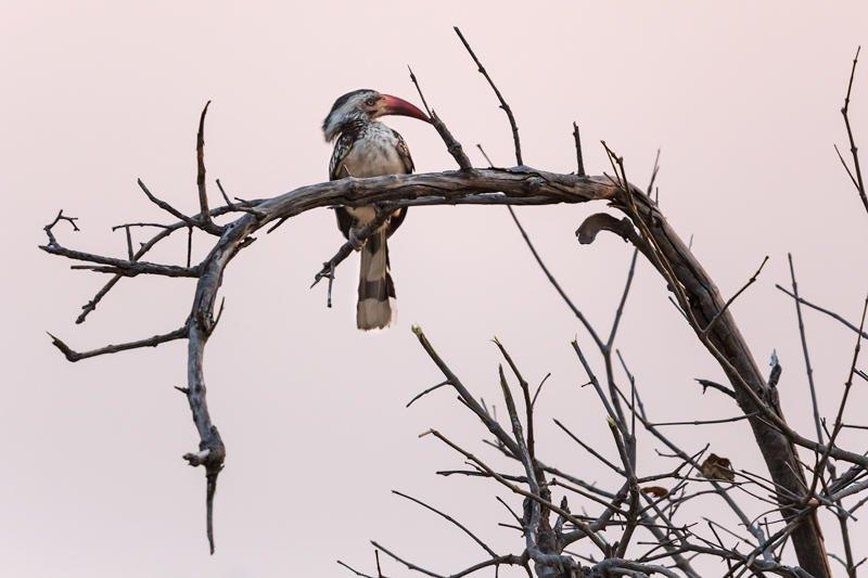 calao del Okavango (Jose Luis Rubio Perez)
