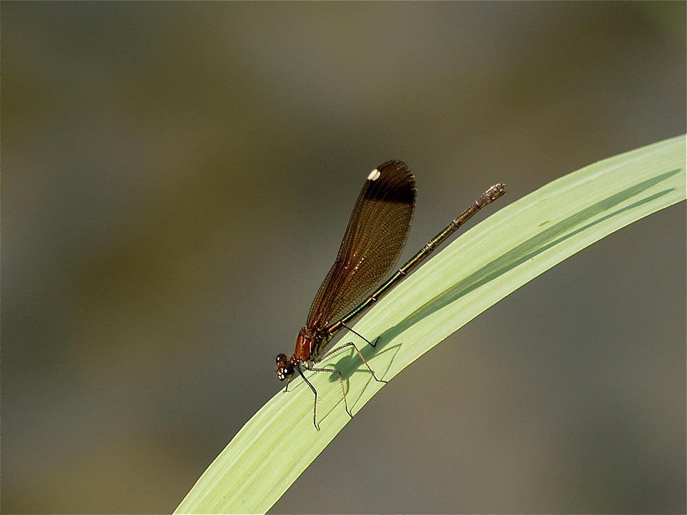 Calopteryx (Jesús Barreda Carbó)